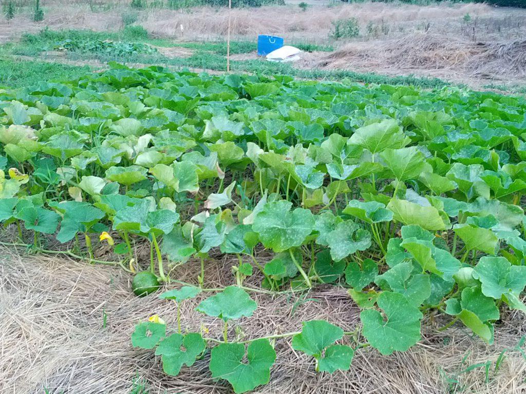 かぼちゃの栽培