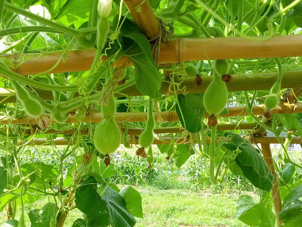 ひょうたんの栽培